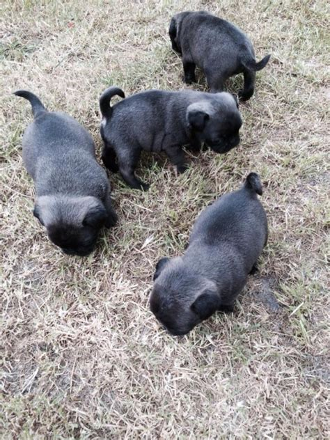 silver pug for sale silver platinum pug puppies pug for sale
