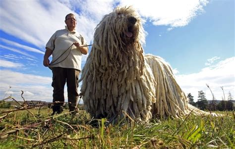 dogs that look like mops there are dogs in hungary that look like mops