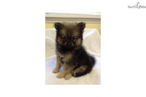 wolf pomeranian for sale meet a pomeranian puppy for sale for 500 akc wolf