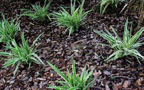 how to mulch beds and borders this winter david domoney