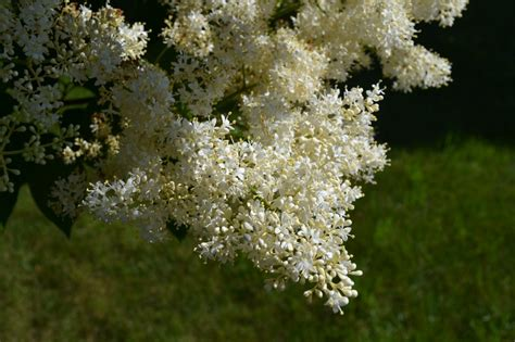 japanese tree lilac is a late spring blooming ornamental tree