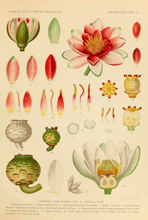 lotus flower anatomy 25 unique botanical drawings ideas on
