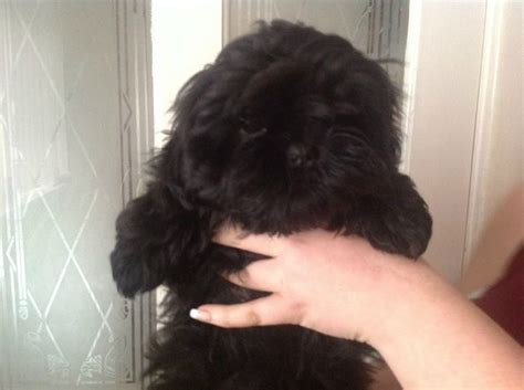 shih tzu half poodle half poodle half shih tzu breeds picture