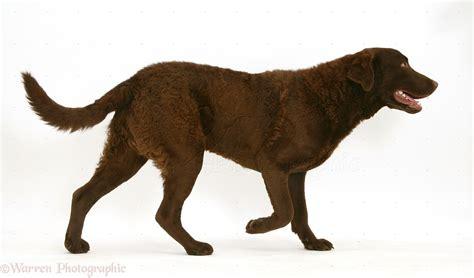 Dog: Chesapeake Bay Retriever photo WP15027