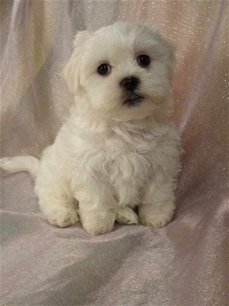 bichon and shih tzu mix shih tzu bichon mix and teddy breeds picture