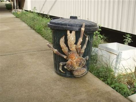 coconut crab 1000 images about coconut crab on pinterest always