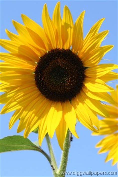 Wallpaper For Iphone Sunflower | iphonezone sunflower iphone wallpapers