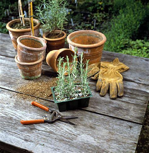 come coltivare il rosmarino in vaso come coltivare il rosmarino in vaso