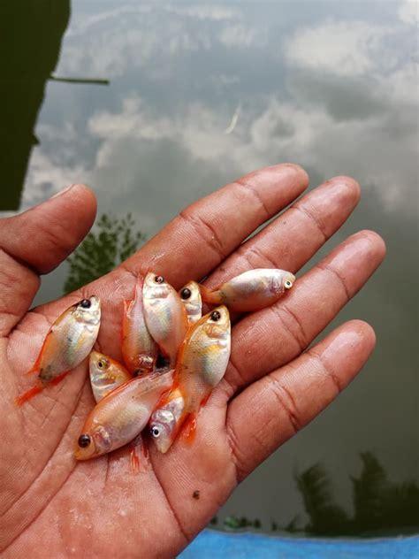 Bibit Ikan Nila Ukuran 3 Jari jual bibit ikan air tawar gurame nila patin ikan dan