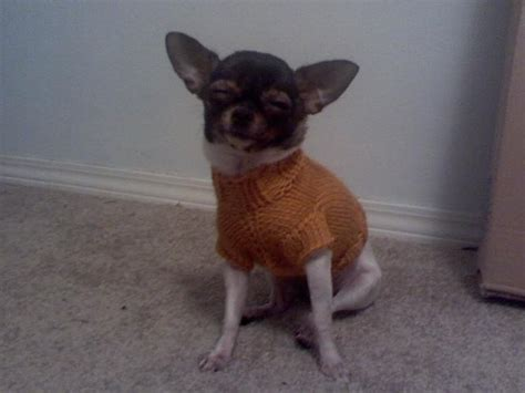 knit pattern chihuahua sweater darby s cabled sweater pattern chihuahua sweater