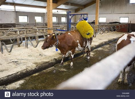 dairy farming dairy    brush  cubicle house