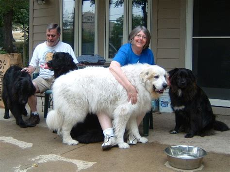 great pyrenees rescue provides wonderful dogs to good homes pierre the great pyrenees 7 12 12 big dogs huge paws inc