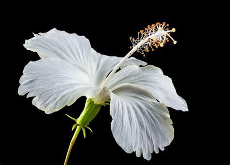 Sepatu Bunga Putih ulasan lengkap fungsi bagian jenis bunga serta gambar