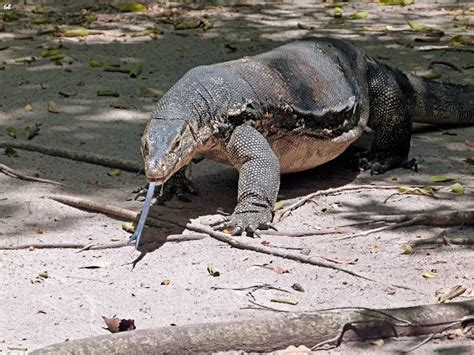 asian water monitor facts habitat diet life cycle baby