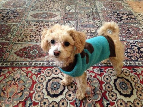 maltese puppy names 17 best images about maltipoo on poodles puppy and maltipoo