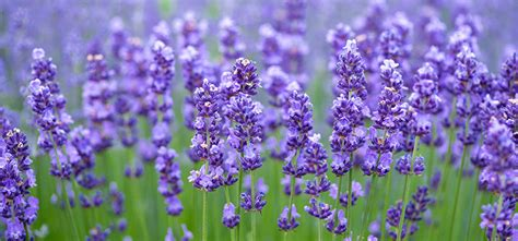 5 plants which repel mosquitoes debugged