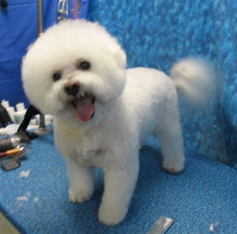 bichon poo haircuts imgs for gt bichon frise cut styles
