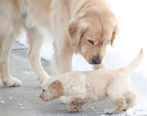 golden retriever puppies new hshire golden retriever puppies are now available