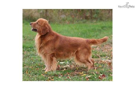 sunfire golden retrievers golden retriever puppy for sale near brainerd minnesota 91c79144 14e1