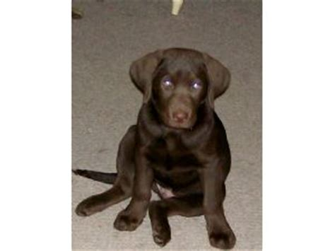 silver lab puppies for sale in ma labrador retriever for sale in ma