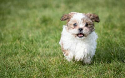 cani consigliati per appartamento cani che non perdono pelo cani ipoallergenici consigliati