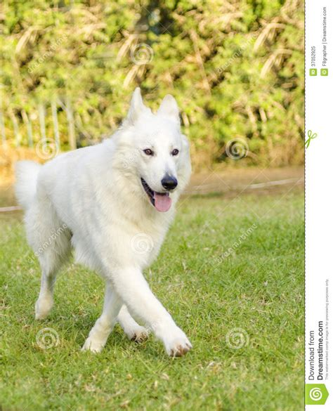 dogs like german shepherd german shepherd walking breeds picture