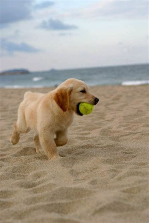 golden retriever puppies orange county 27 best orange county beaches images on orange county beaches real