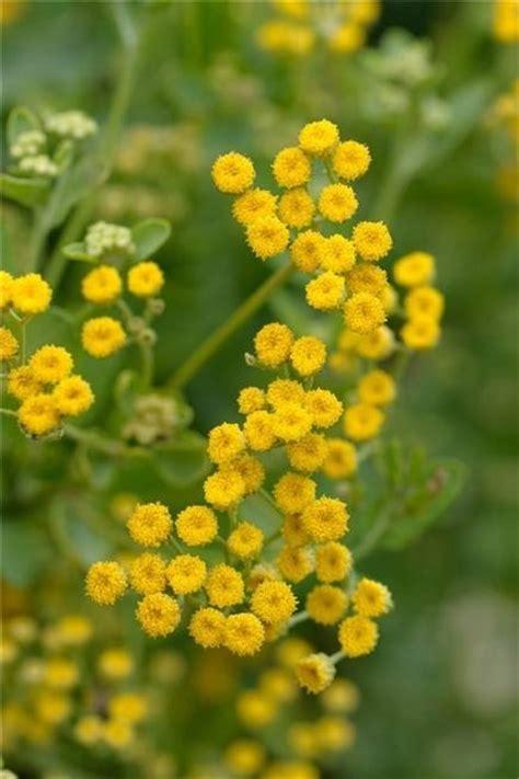 fiori medicinali balsamita piante medicinali