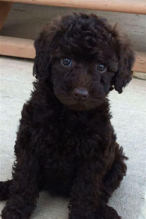 retriever doodle puppies for sale nz best 25 miniature labradoodle ideas on puppy