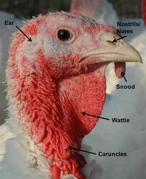 what is a turkey neck on a woman eeek i have a wattle housegoeshome