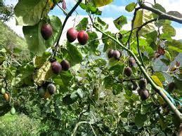 Bibit Durian Musang King Ambarawa hasil gambar untuk terong belanda tanaman buah