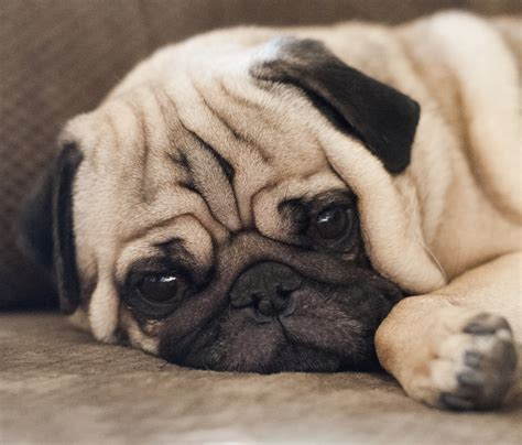 pugs brachycephalic the pug the happy puppy site