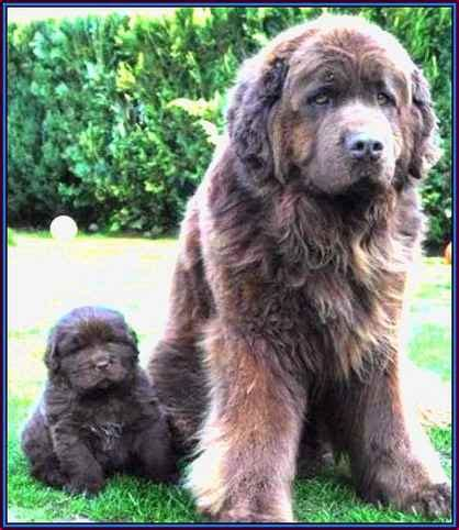large haired dogs sweet large breeds hair and breeds with hair dogs pet animals