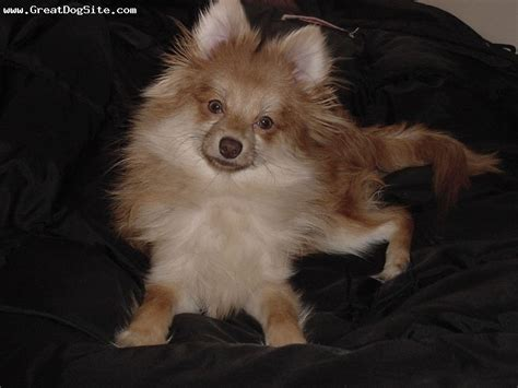 black white and brown pomeranian a photo of a 1 year brown pomeranian black and white photo greatdogsite