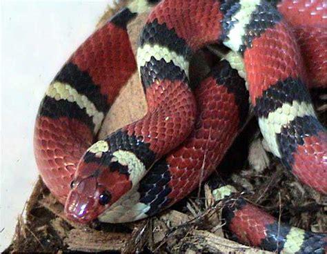 king snake colors kingsnake