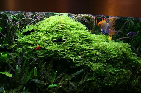 Aquascaping about 5 years after set up christmas moss owergrow the