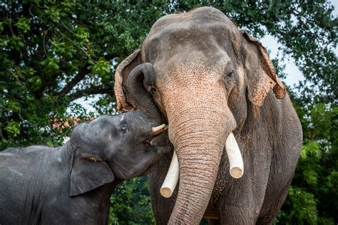 asian elephant  houston zoo