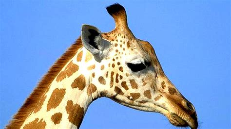 imagenes reales de jirafas bbc mundo noticias el curioso incidente de la jirafa