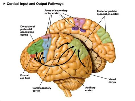 motor association area sensorimotor association cortex