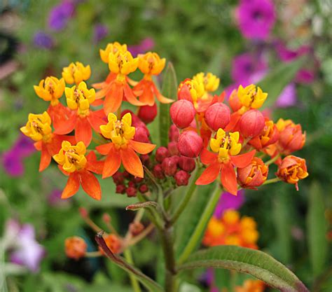 asclepias curassavica quot milkweed quot buy online at annie s