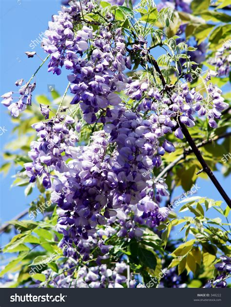 getting wisteria to bloomm blooming wisteria stock photo 348222