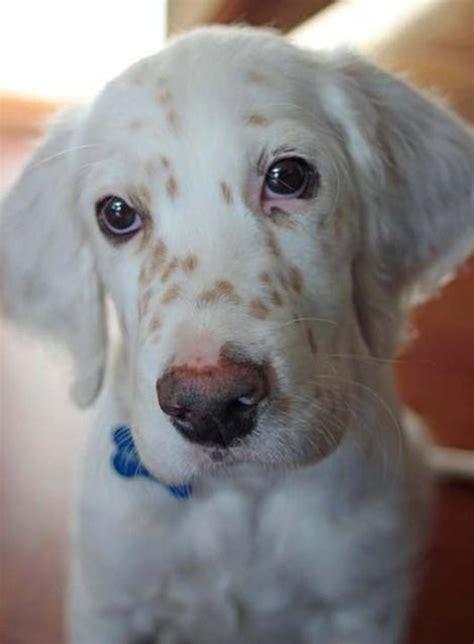 au setter dog lisieux my future dog english setter jr sasha would have