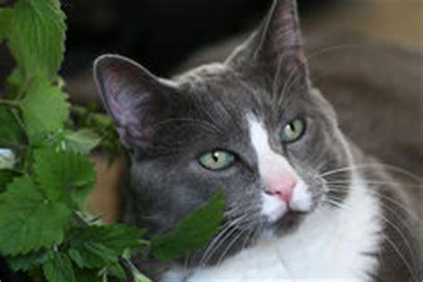katze macht immer auf den teppich graue katze mit gr 252 nen augen legt auf den teppich