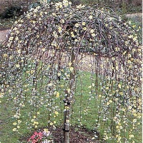 dwarf weeping willow landscape ideas pinterest gardens sun and grey