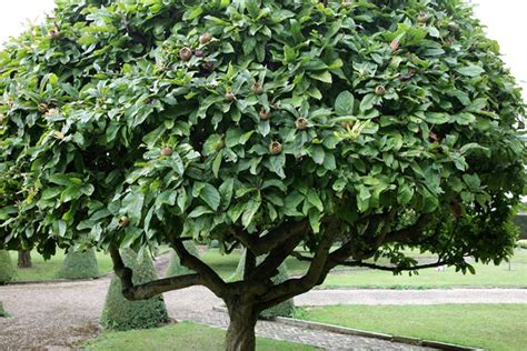Topiary Outdoor - the medlar a strange but charming tree gardenista