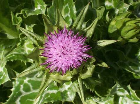 How Much Milk Thistle While On A Candida Detox by How To Use Milk Thistle To Reduce Candida Die Symptoms