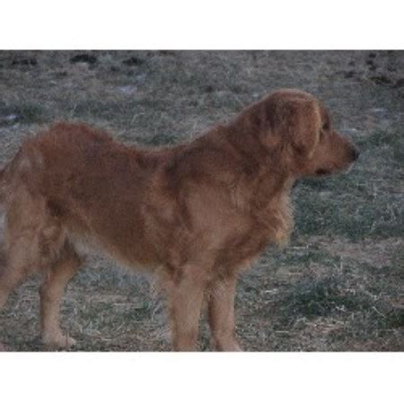 golden retriever breeders maine goldenridge kennels golden retriever breeder in hden maine listing id 16416