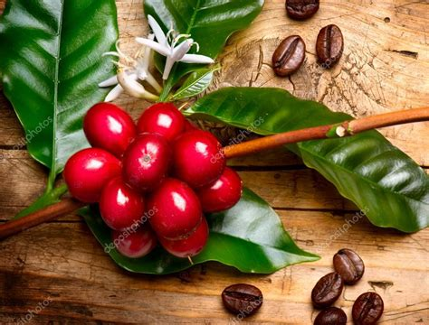 coffee plant wallpaper coffee plant red coffee beans on a branch of coffee tree
