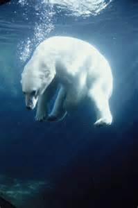 Leopard Print Duvet Cover Polar Bear Swimming Underwater Alaska Photograph By Steven