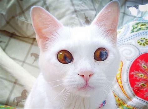 gatti con occhi diversi heterochromia cat 700 tutto ze 57551